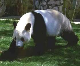 ジャイアントパンダの画像 p1_27